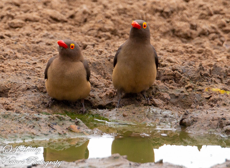Red-billed Oxpecker, Buphagus erythrohynchus