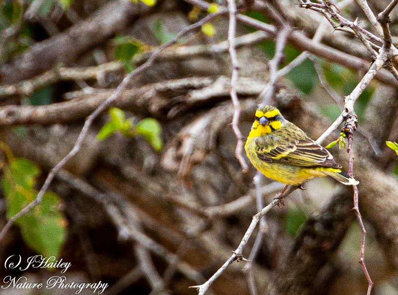 Yellow-fronted Canary, Crithagra flaviventris