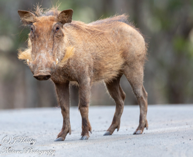 Common Warthog, Phacohoerus africanus