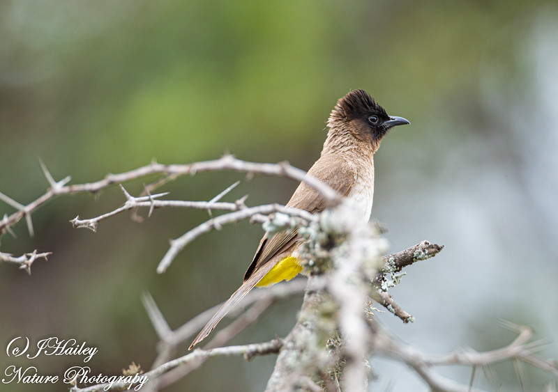 Dark-capped Bulbul, Pycnonotus tricolor