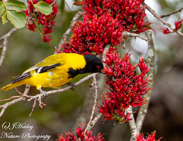 Black-headed Oriole, Oriolus larvatus