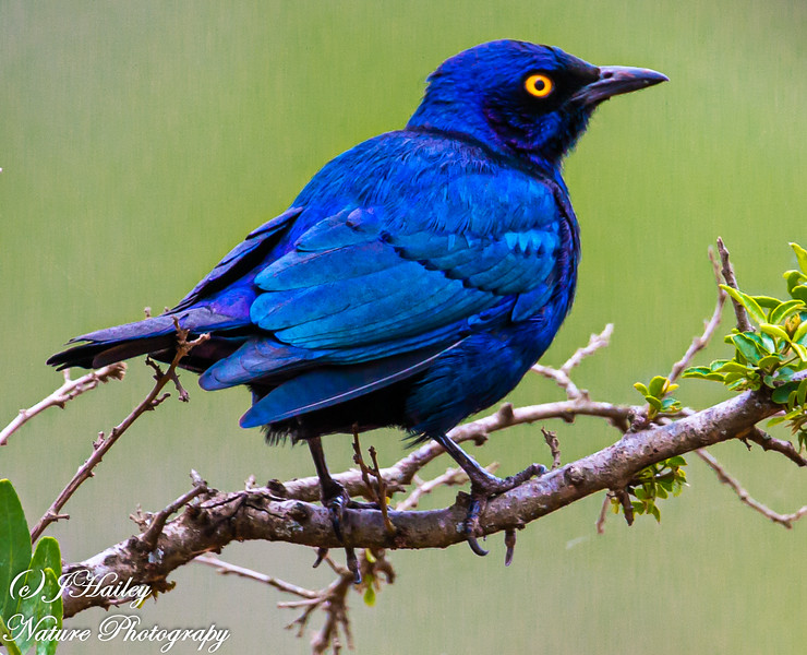 Cape Glossy Starling, Lamprotornis nitens