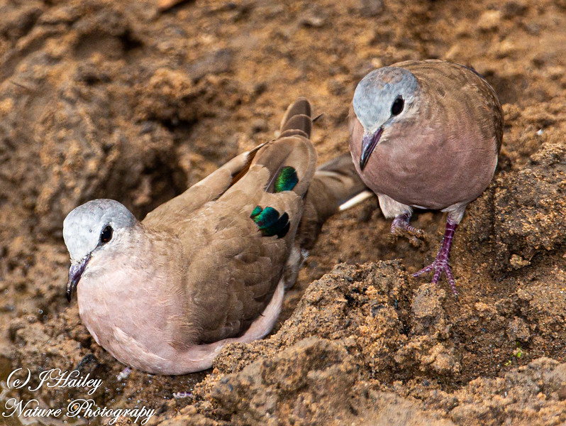 Emer-spotted Wood Dove, Turtur loschalcospi