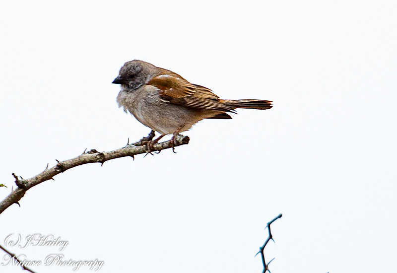 Southern Grey-headed Sparrow, Passer diffusus