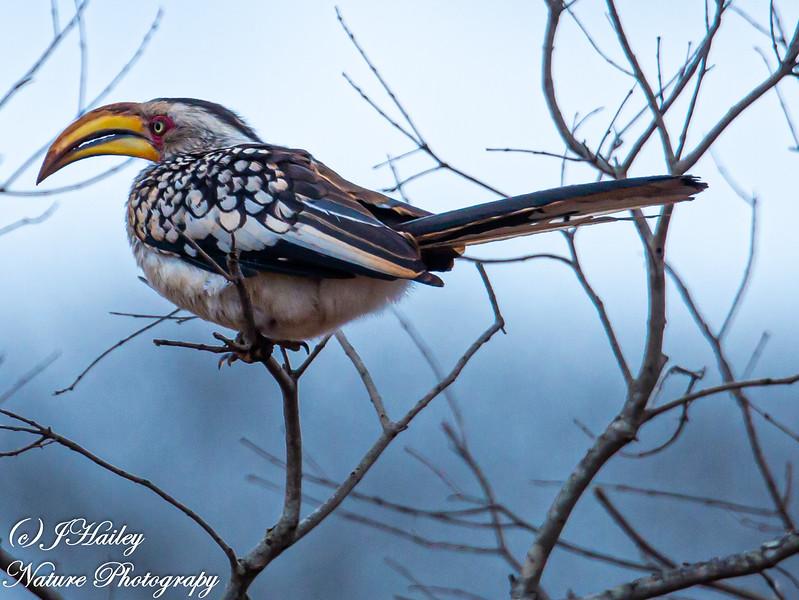 Southern Yellow-billed Hornbill, Tockus leucomelas