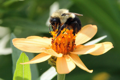 Bumble bee 20