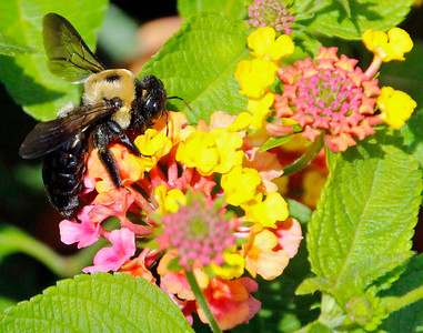 Bumble bee 6