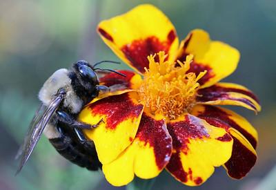 Bumble bee 19