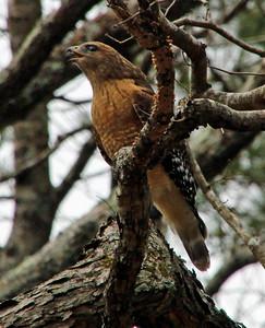 Hawk calling