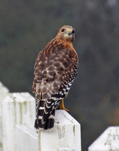 Red Shouldered Hawk looking