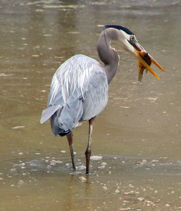 Great blue heron and carp