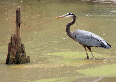 Great blue heron and stump