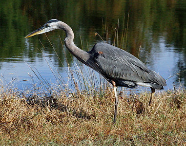 Great blue heron in the grass