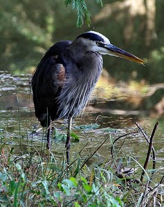Great blue heron crouching