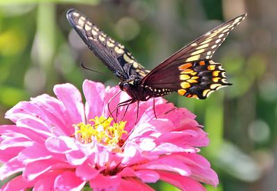 Spicebush Swallowtail 2