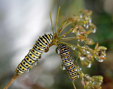 Two catepillars