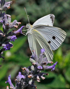 Cabbage White 1