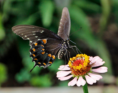 Spicebush Swallowtail 3