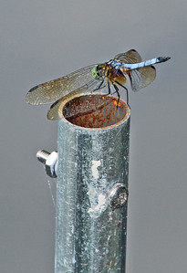 Blue Dasher 14