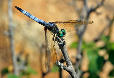 Blue Dasher 12