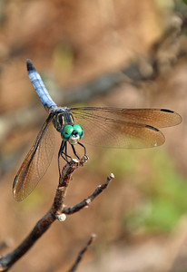 Blue Dasher 3
