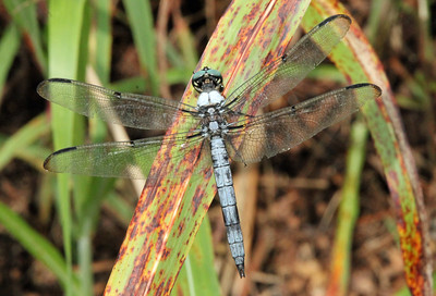 Blue Dasher 21