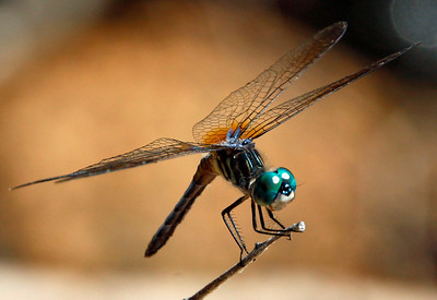 Blue Dasher 9