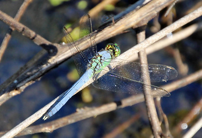 Blue Dasher 10