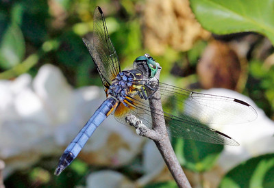 Blue Dasher 13