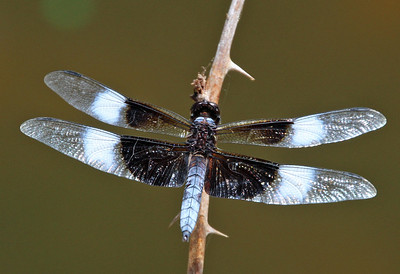 Widow Skimmer 5