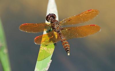 Eastern Amberwing 2