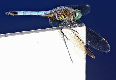 Blue Dasher 17