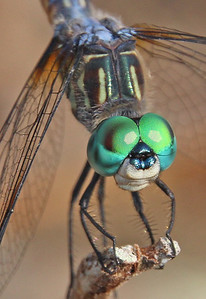 Blue Dasher 4