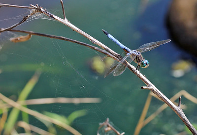 Blue Dasher 5