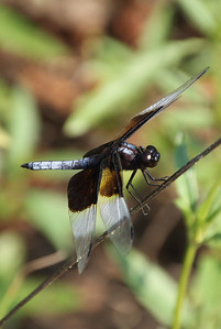 Widow Skimmer 4