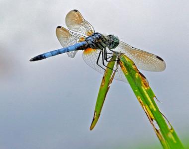 Blue Dasher 19