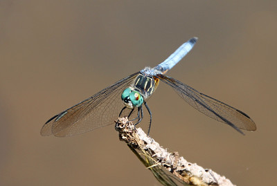 Blue Dasher 8