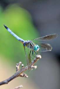 Blue Dasher 7
