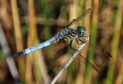 Blue Dasher 15