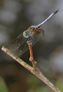Blue Dasher 20