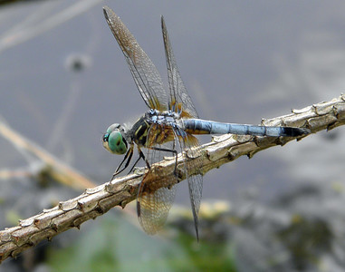 Blue Dasher 1
