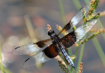 Widow Skimmer 3