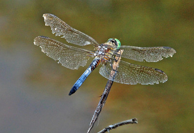 Blue Dasher 6