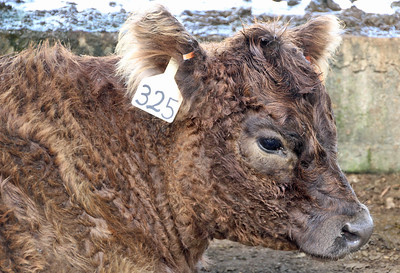 Brown beltie