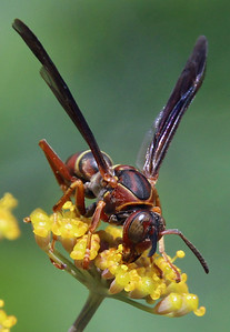 Paper wasp 1