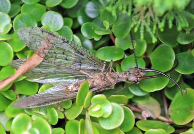Dodson fly