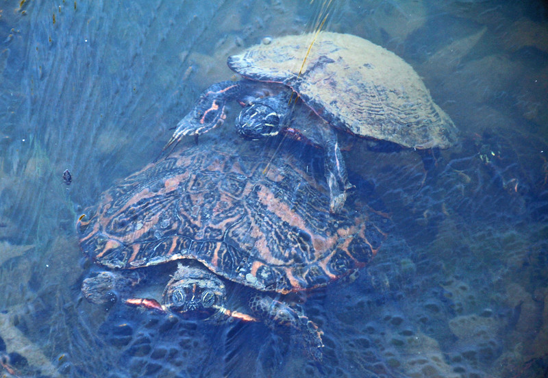 Turtles under ice