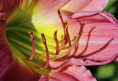 Pink and green lily