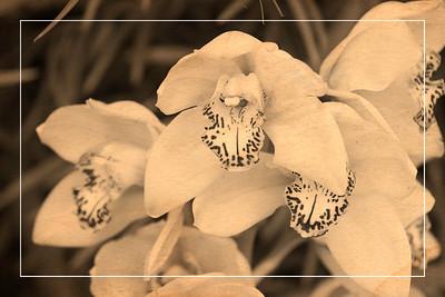 Orchid 4 - Vintage Postcard