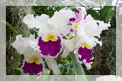 Orchid 3 - Original